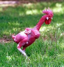 sulap - cara hipnotis ayam dan burung