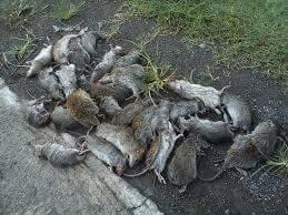 racun tikus2