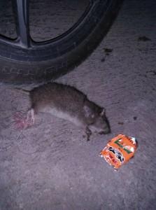 racun tikus3